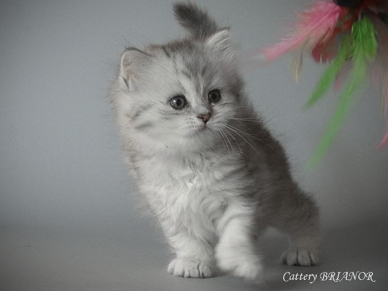 Питомник британских кошек brianor